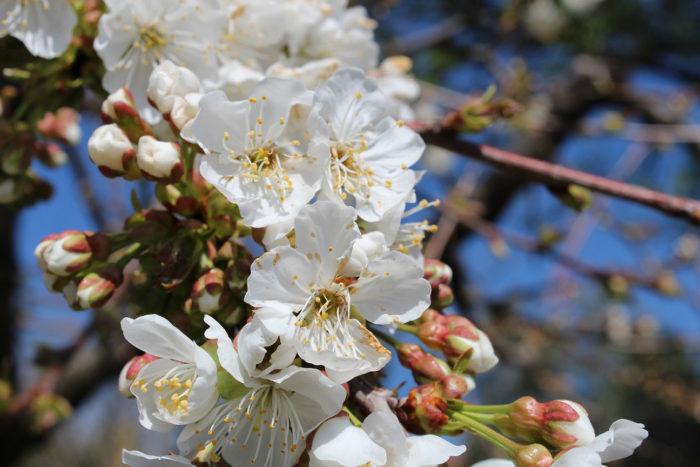 branche de fleurs de cerisier au Domaine Chant des Loups
