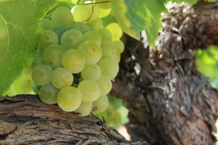 raisin IGP blanc Chant des Loups