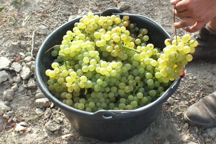 Récolte du raisin IGP blanc Chant des Loups