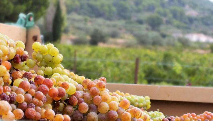 Récolte de raisins IGP Muscat sec BIO Chant des Loups