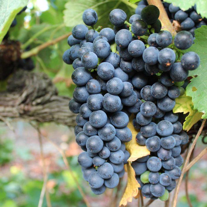 Vigne IGP Méditerranée rouge Chant des Loups