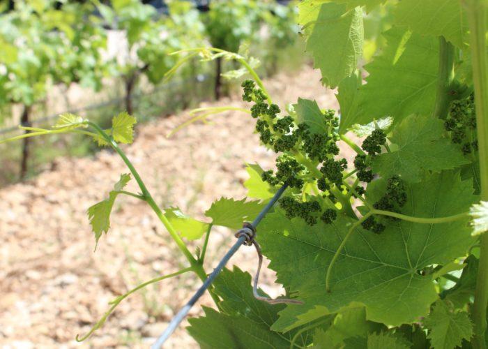 La vigne pousse à vive allure
